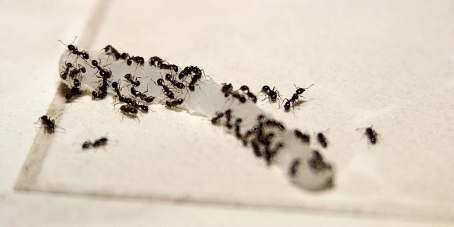 How To Get Rid Of Ants With Natural Solutions