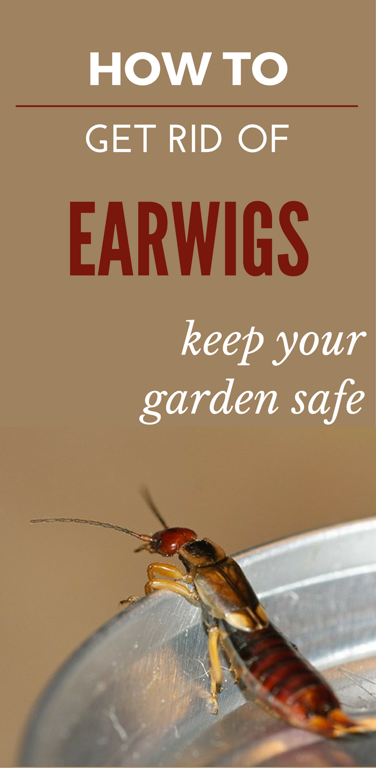 how to get rid of earwigs in the garden garden ftempo