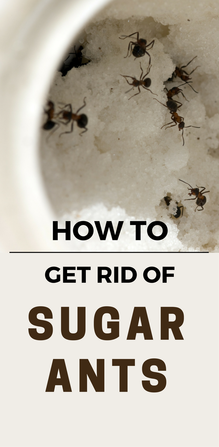 How To Get Rid Of Sugar Ants 101cleaningsolutions Com