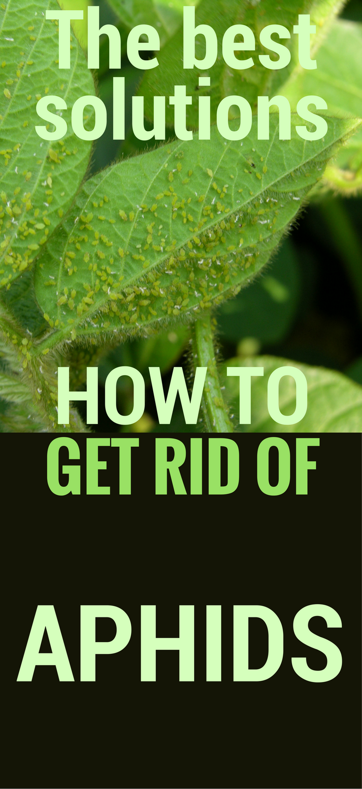 The Best Solutions On How To Get Rid Of Aphids