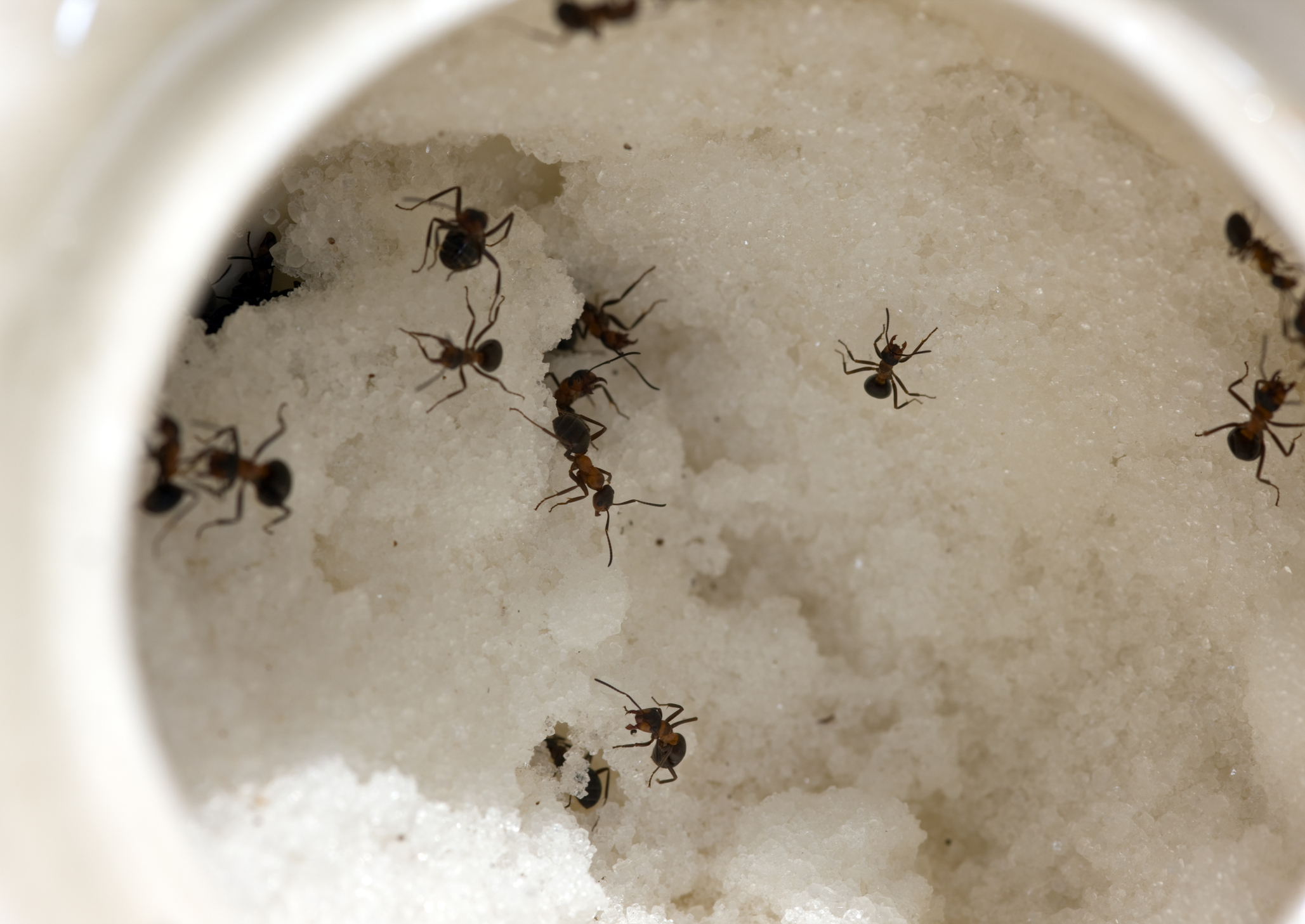 How To Get Rid Of Sugar Ants - 101CleaningSolutions.com
