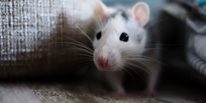 How To Get Rid Of Mice In The House In A Natural Way